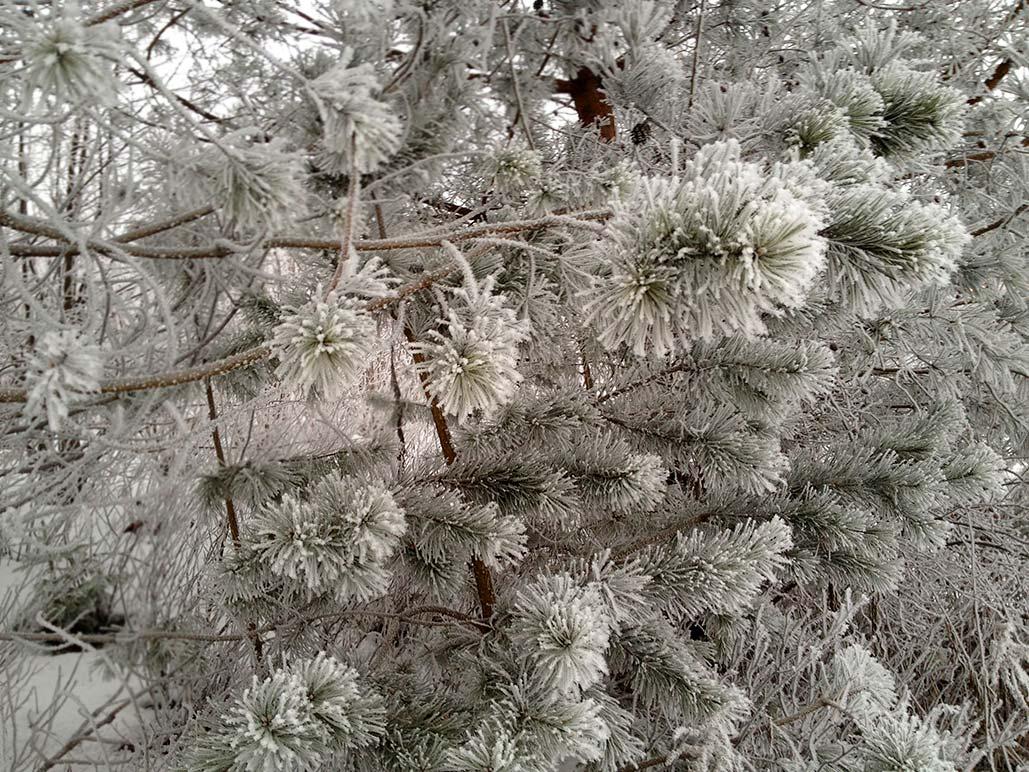 pine_boughs